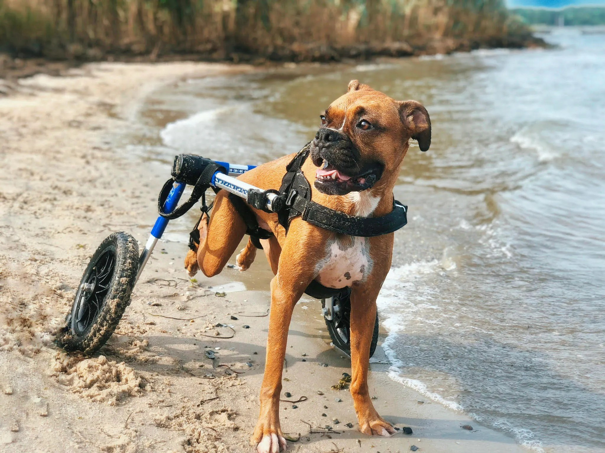 wheel chairs for dogs art deco club in wheelchairs harley quinn the dog lands a spot on 2019 special pets calendar