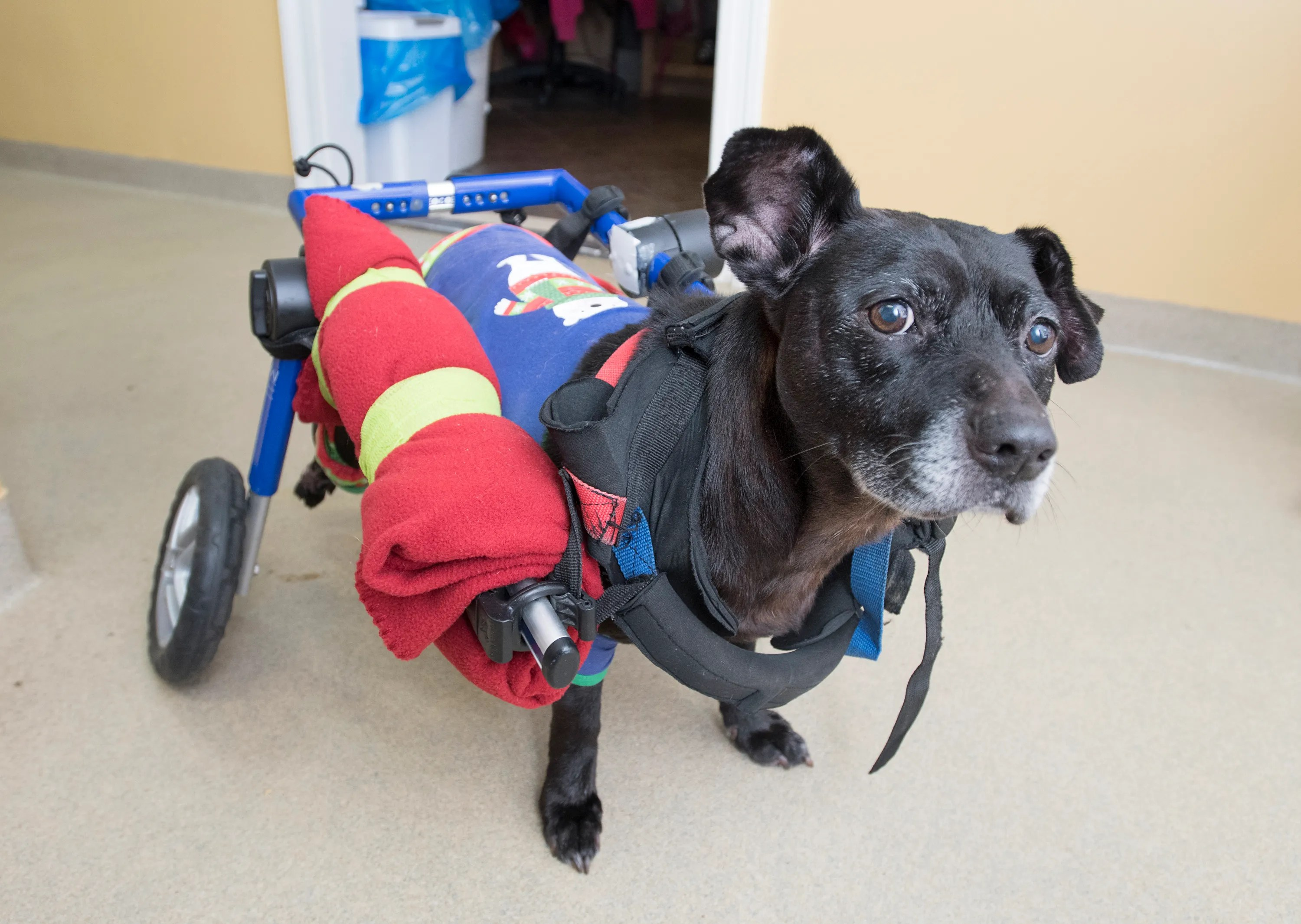 wheelchair dog black accent chairs under 100 pensacola in finds love home at safe harbor animal hosp hospital