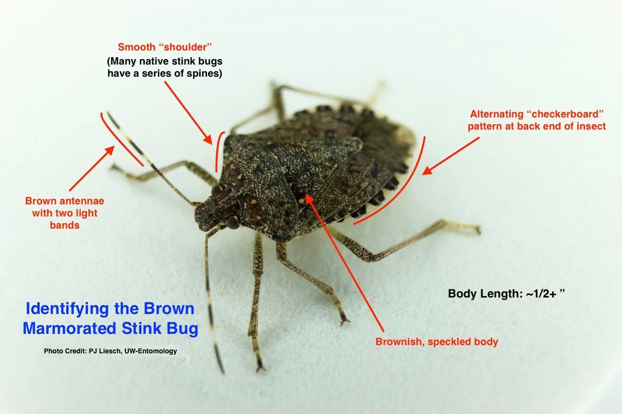 Stinkbugs: Warm weather unleashes smelly bugs in Wisconsin