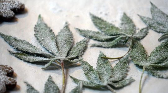 Candied hemp leaves await placement on CBD-glazed doughnuts at Glazed & Confuzed in the Stanley Marketplace in Aurora, Colorado.