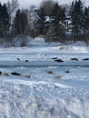 The small Canadian town ofRoddickton-Bide Arm is teeming with dozens of seals that have moved inland after a nearby cove froze over.