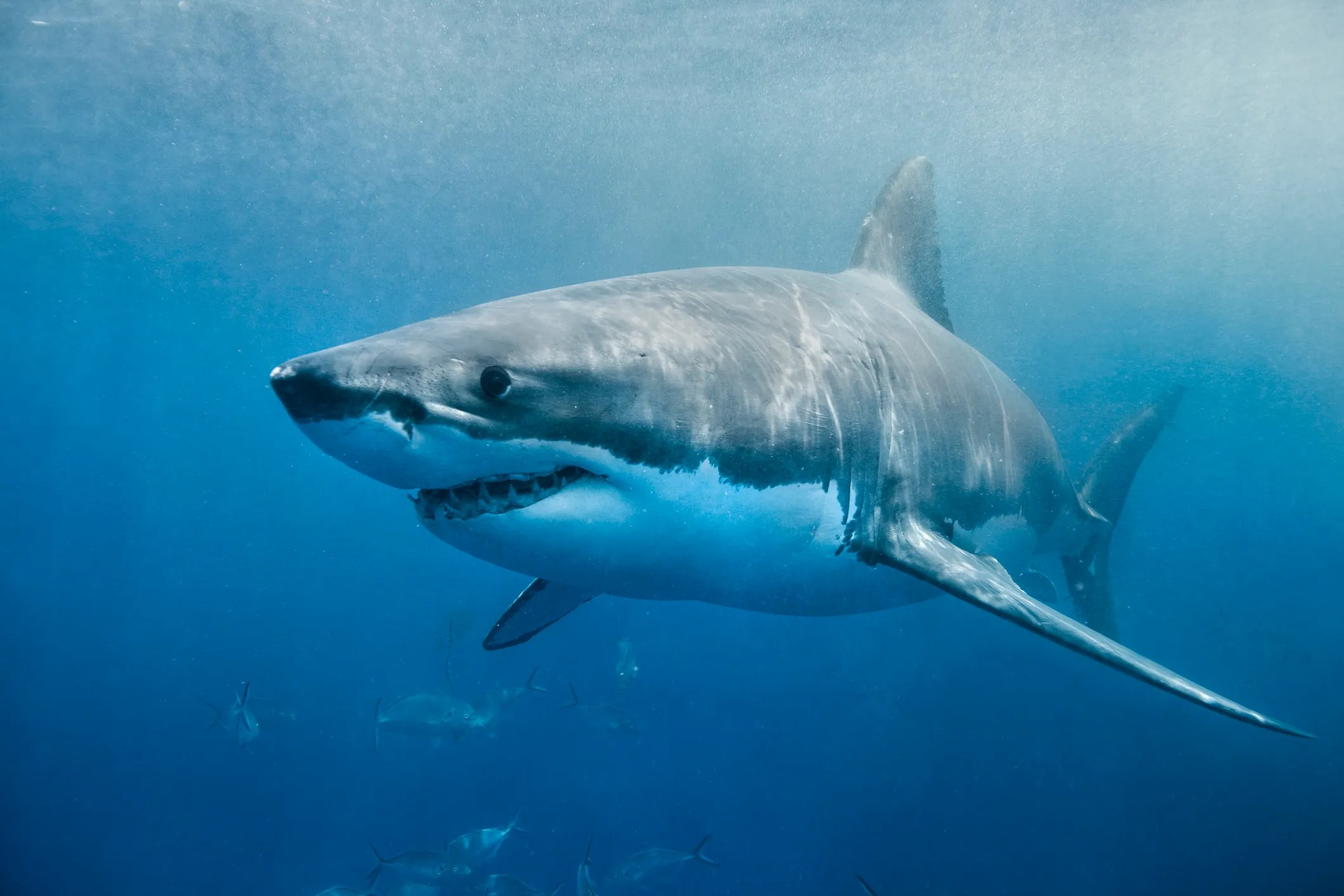 Great White Shark Cabot On The Move Off Delaware