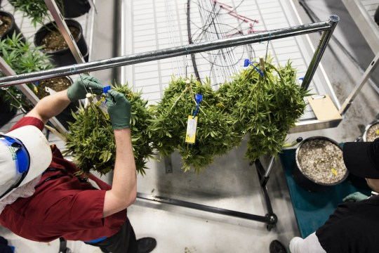 Workers at Green Peak Innovations attract drying marijuana plants, Wednesday, February 13, 2019. Currently Green Peak employs 80 people, and about 200 are expected to be employed by the end of the year.