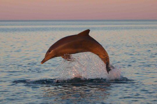 A dolphin leaps out of Shark Bay in western Australia. Ocean water heated up by climate change is threatening dolphins and other marine mammals, a new study suggests.