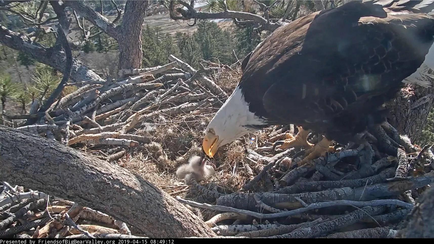 baby bald eagle still