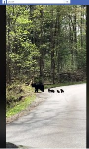 A video showing a likely mama bear and cubs crossing the road in the Smoky Mountains caught the attention millions ofviewers on Facebook this week.