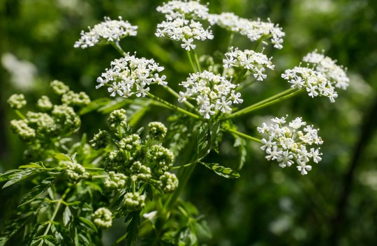 A close-up of flowers on a poison hemlock plant.