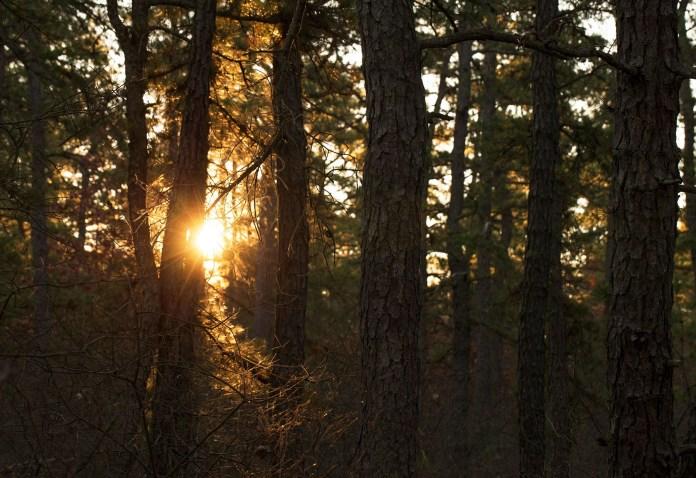 Сосновые Степи покрывают более 12 000 акров в Нью-Джерси.