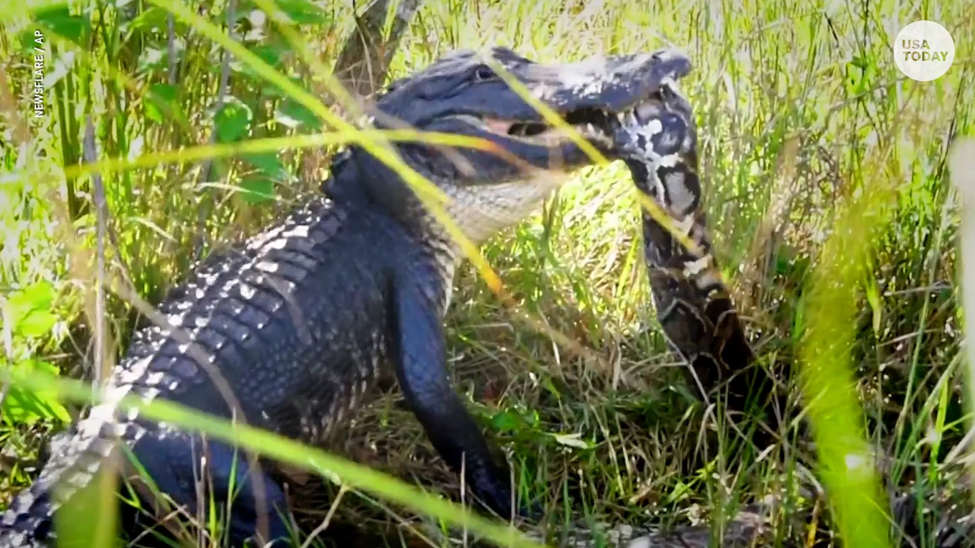 'hero' alligator gulps down invasive burmese python