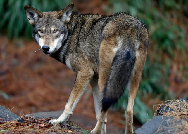 Environmental groups sue Trump administration over changes to Endangered Species Act