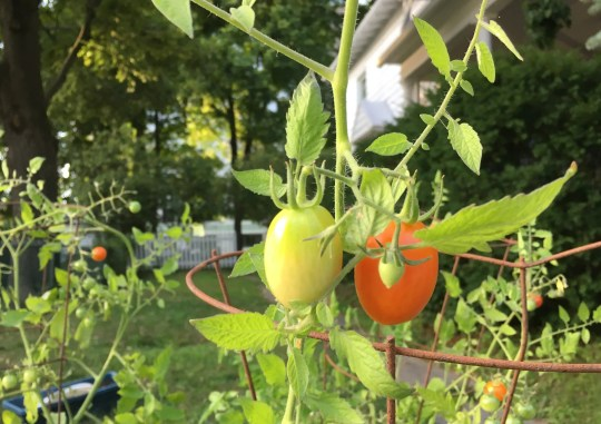 Tomatoes are popular but not the easiest for beginners. Kelly McGowan with University of Missouri Extension suggests cherry tomatoes for beginning gardeners.