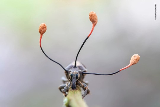 On a night-time fieldtrip in the Peruvian Amazon rainforest, Frank spotted this bizarre-looking weevil clinging to a fern stem. Its glazed eyes showed it was dead, and the three antennae-like projections growing out of its thorax were the ripe fruiting bodies of a 'zombie fungus'. Spreading inside the weevil while it was alive, the parasitic fungus had taken control of its muscles and compelled it to climb. When it was at a suitable height – for the fungus – the weevil held fast to the stem. Fuelled by the weevil's insides, the fungus then started to grow fruiting bodies topped by capsules that would release a multitude of tiny spores to infect new prey. Similar 'zombie fungi' are known to parasitize other insects. Shooting the weevil head on, to show its characteristic elongated snout, Frank isolated the fungus against a soft background to emphasize the capsules. By the next day, the spores had been released and the fungus had withered, its mission accomplished.