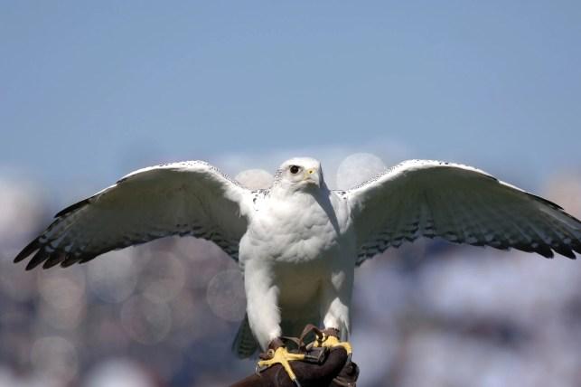 Air Force Academy's live mascot Aurora dies at 23