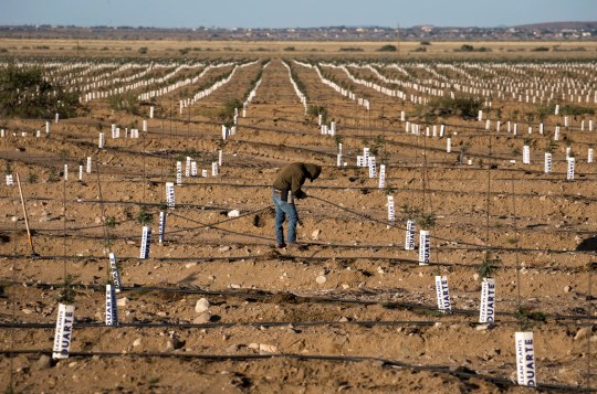 A worker plugs holes in an irrigation line in a field of young pistachio trees at Peacock Nuts Co.'s farm in Kingman.
