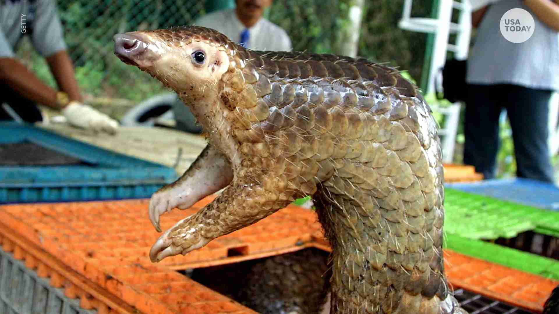 Coronavirus New Study Shows The Pangolin May Be Linked To