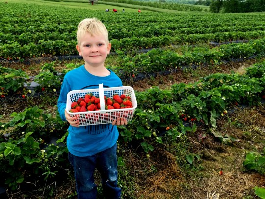 Clark Sampson, 5, of Hendersonville enjoys a morning of picking and eating fresh strawberries at Bottom View Farm in Portland May 3, 2016.