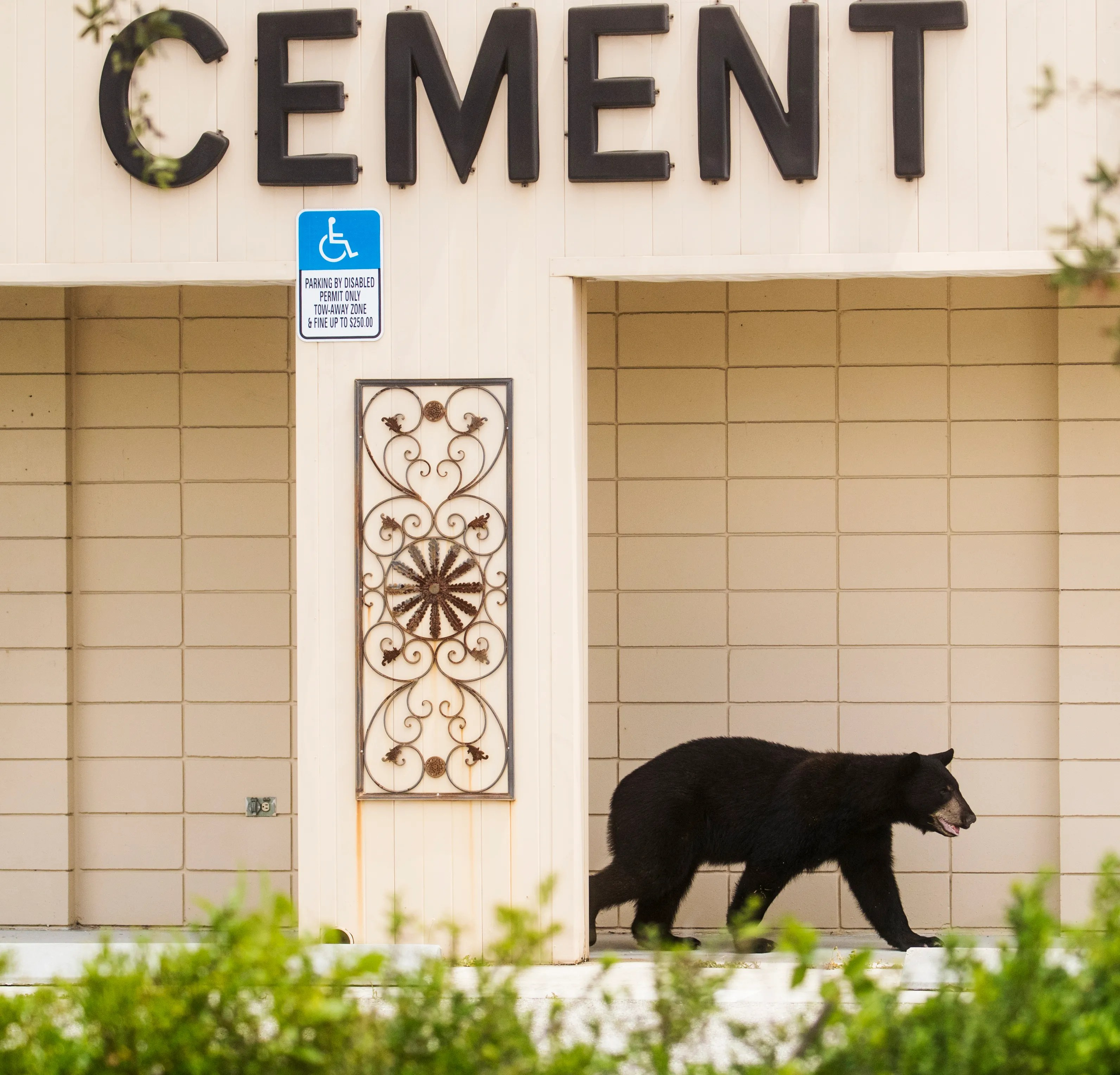 young black bear causes ruckus as it roams the streets of fort myers