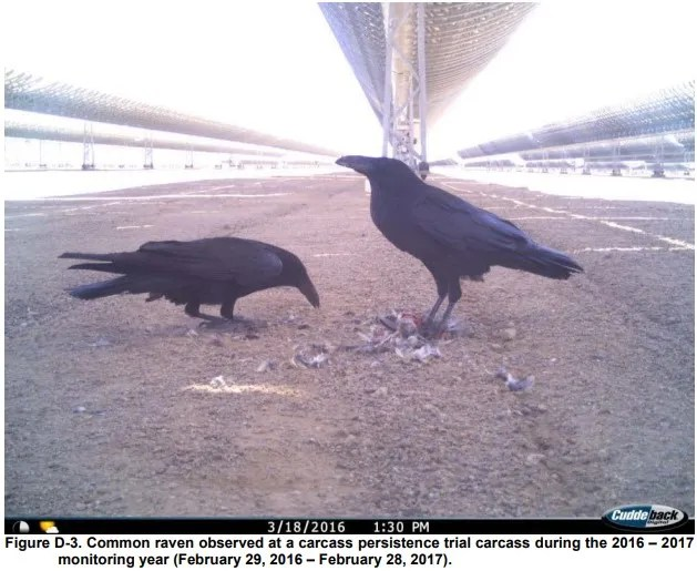 Ravens feed off dead carcasses found at the Genesis Solar Energy Project in Southern California in 2016. Environmentalists said that many birds are being killed by utility-grade projects.