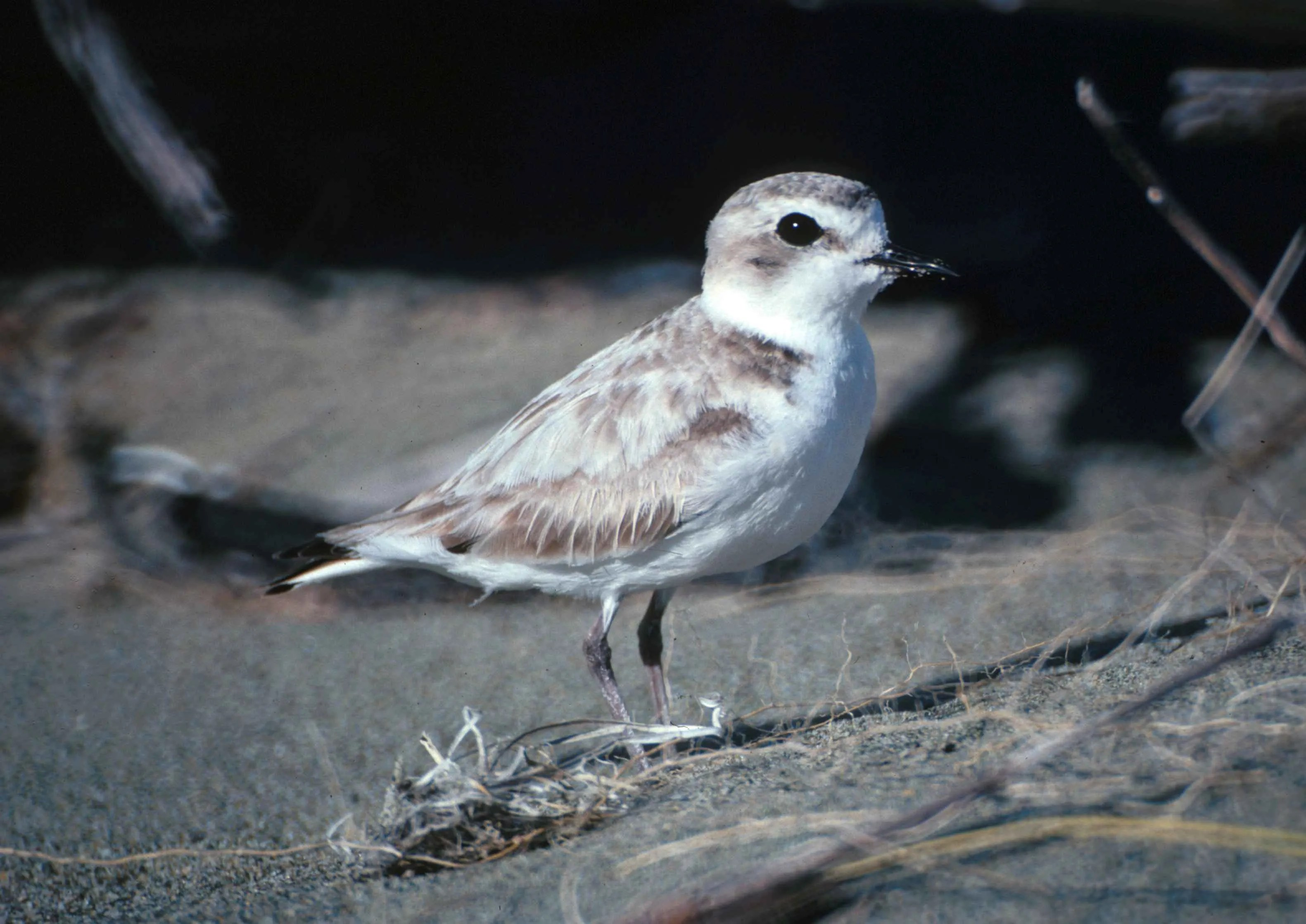 The move to ban off-highway vehicles from Oceano Dunes was made in part to protect endangered animals, like the snowy plover.