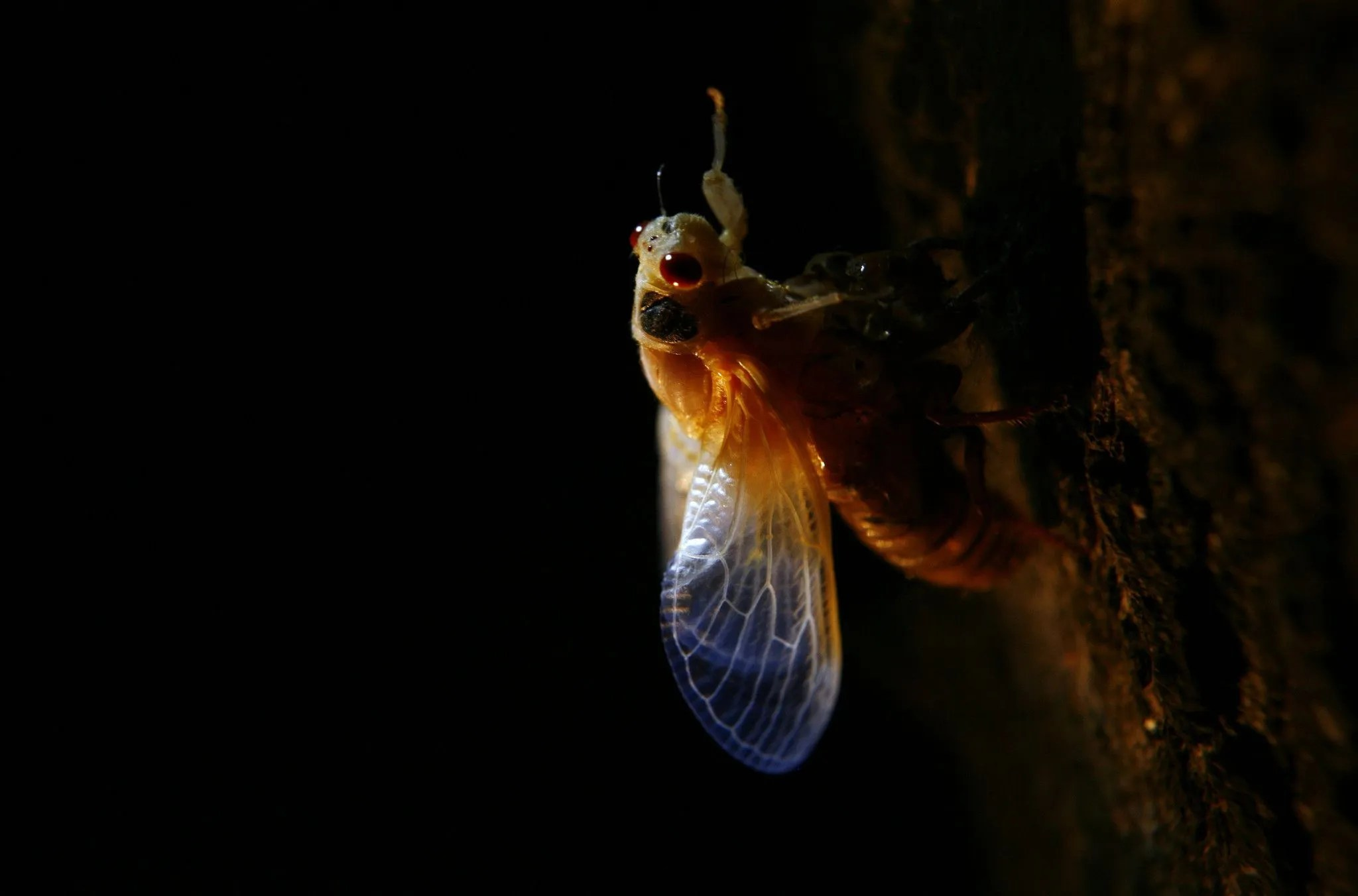 The lacy wings of a 17-year brood cicada are visible as it emerges in Homewood on May 22, 2007.