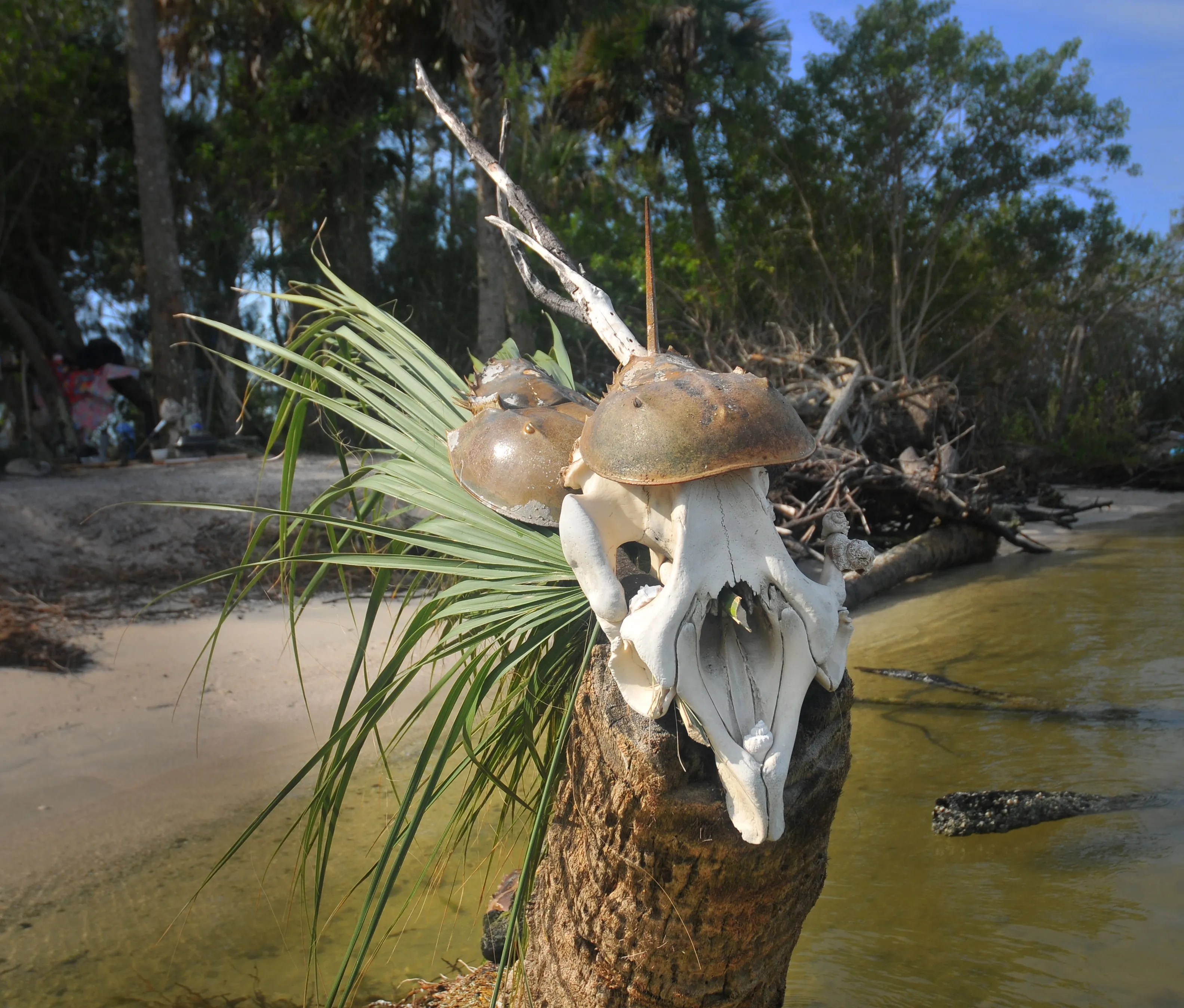 Someone has made a totem out of a manatee skull and some horseshoe crab shells near Triangle Island in the Indian River Lagoon in Merritt Island.