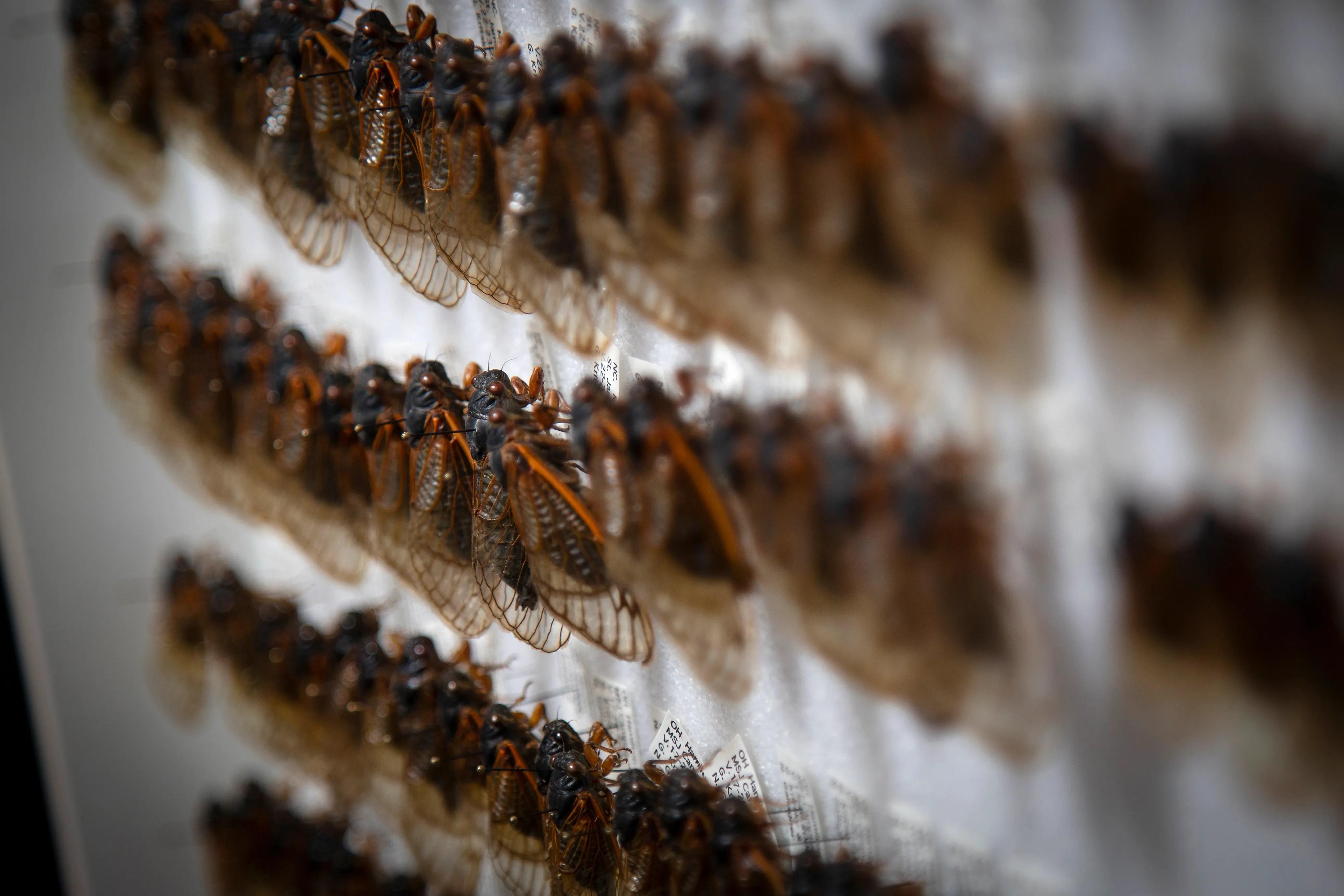 Dozens of cicadas are preserved in Gene Kritsky's office in Delhi Township, Ohio, on April 23, 2021.