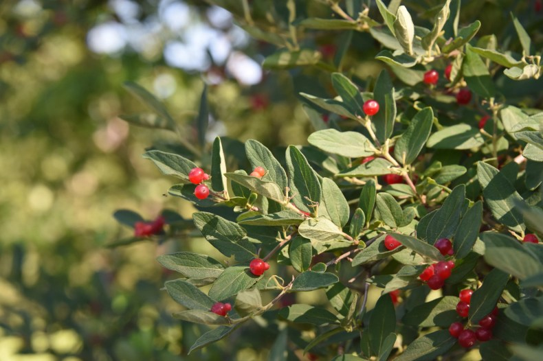 The autumn olive plant produces colorful berries in the summer. Birds eat the berries and the seeds are left in new areas, allowing the plant to spread, which is a problem since it is one of the more invasive non-native plants in Indiana. It's on the list of plants that cannot be sold in the state.