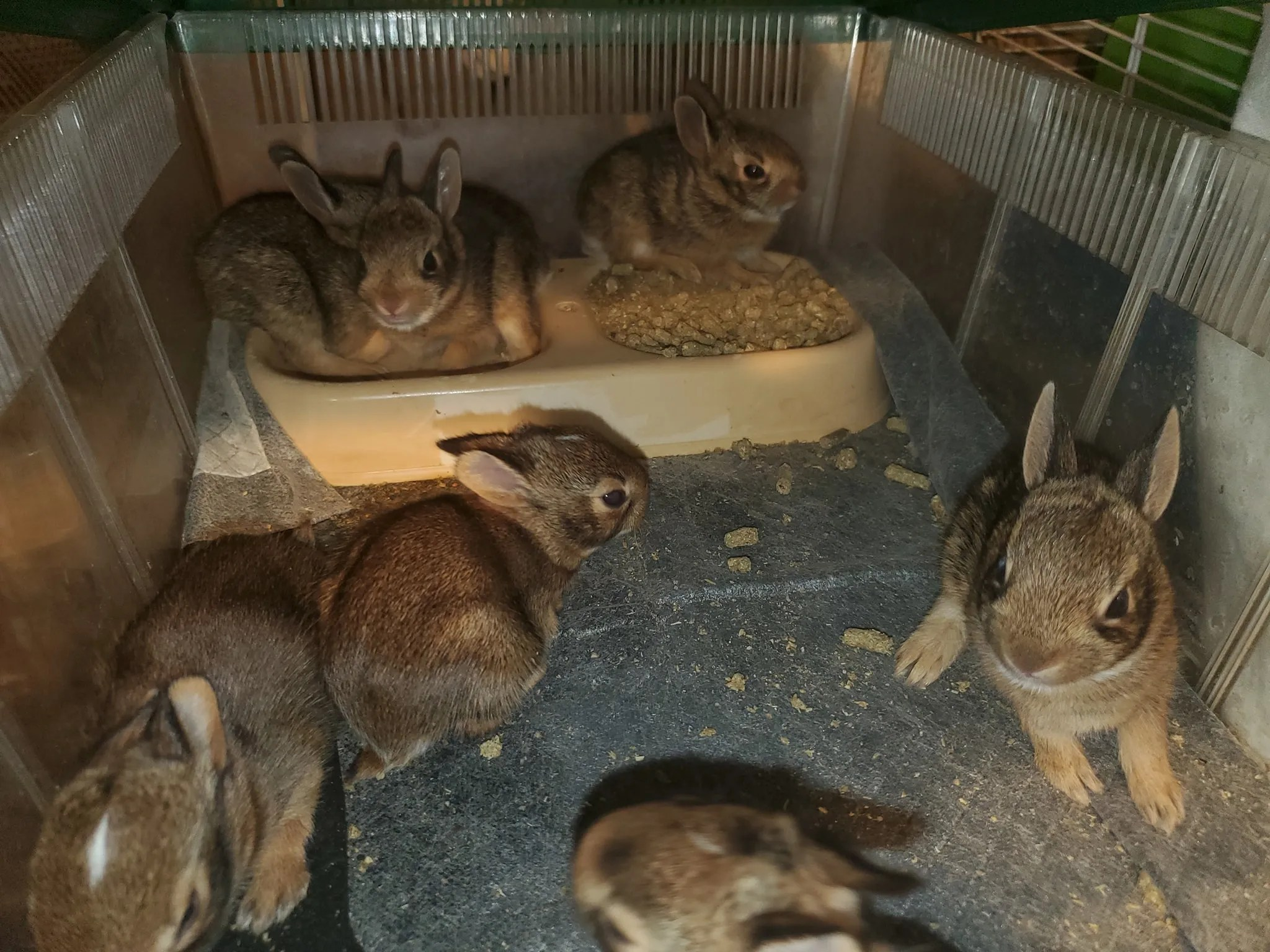 Rabbits relax at We Are Their Voice Wildlife Care and Rescue LLC. David and Cheryl Cox run the Maine-based rescue for small mammals.