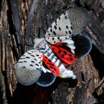 See a spotted lanternfly in PA, NY and OH? Kill it on sight. 💥💥
