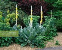 GAP Gardens - Gravel garden planted with Verbascum ...