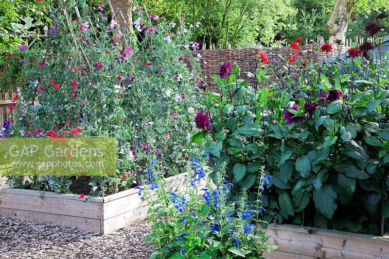 Gap Gardens Lathyrus Latifolius Mixed Sweet Peas On