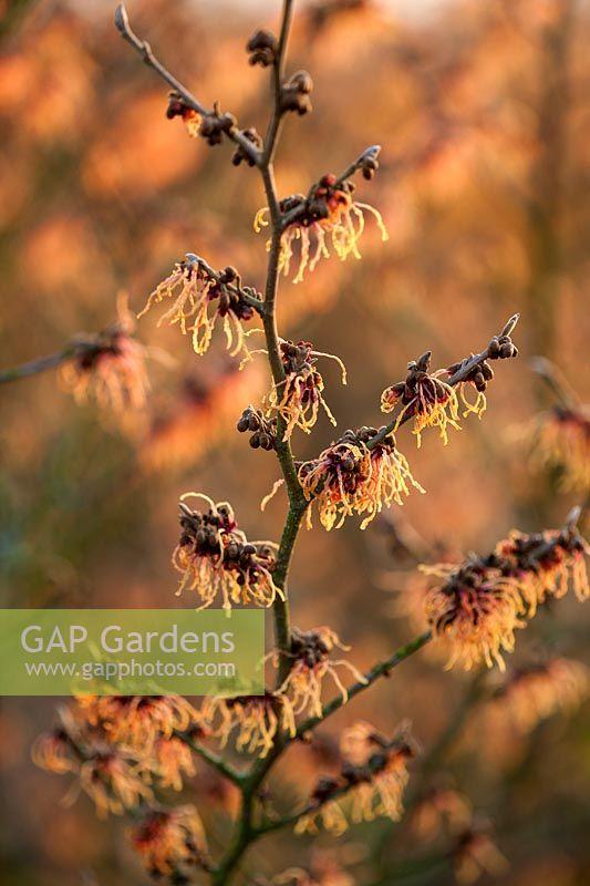 gap gardens hamamelis x