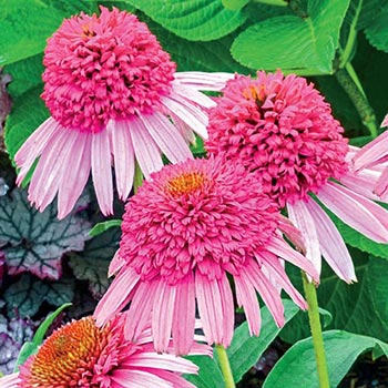 PLANT-OF-THE-WEEK- American Coneflower