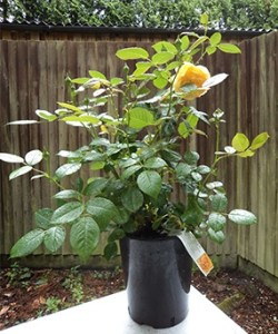 Potted Rose in Bloom