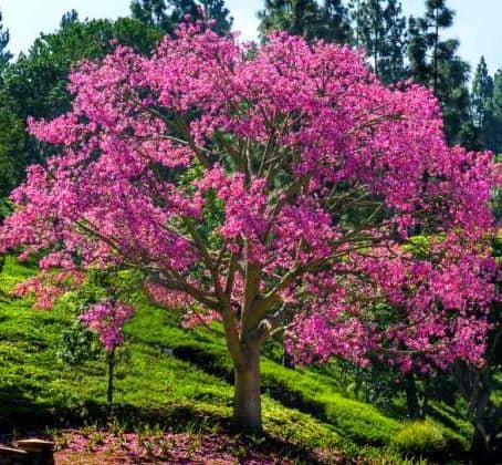 Silk Floss Trees - Chorisia speciosa