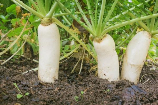How To Grow Daikon Radish MyCoffeepotOrg