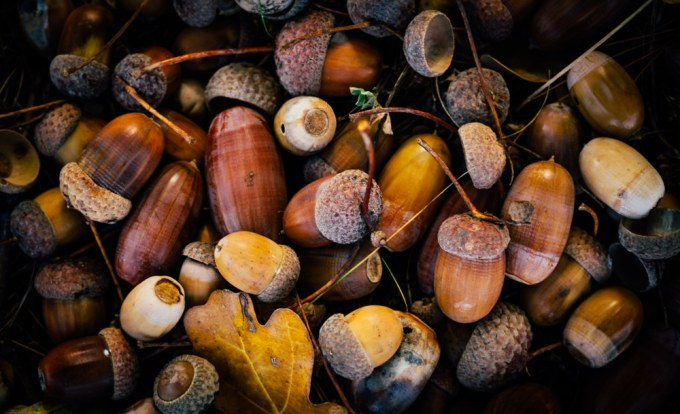 What Kind Of Trees Do Acorns Come From