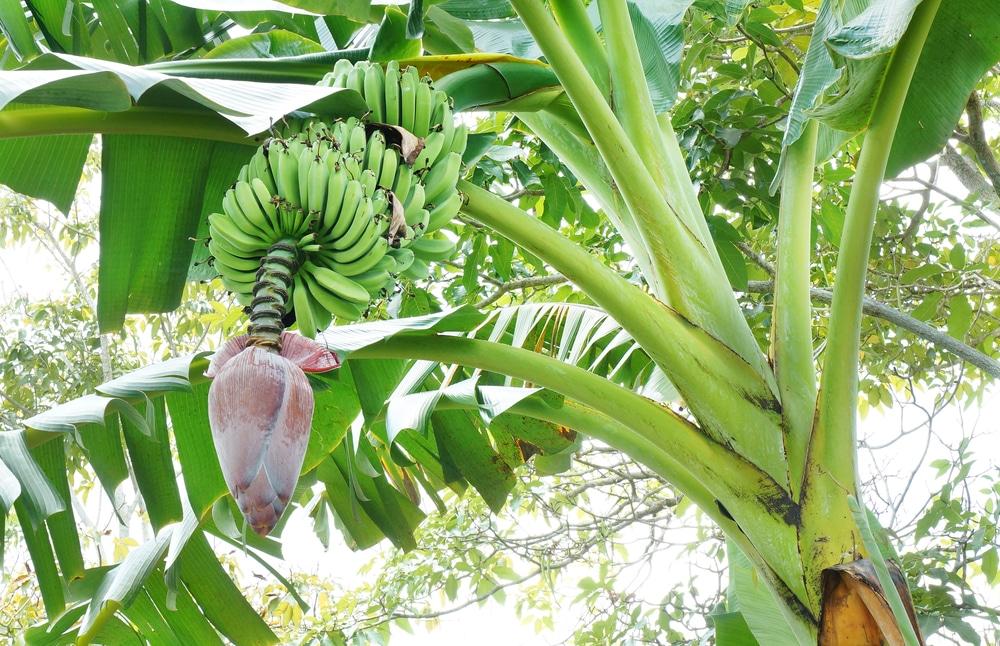 Banana Tree Care Tips To Keep It Happy Healthy
