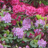 Rhododendron mountain laurel plant care guide auntie for How to care for rhododendrons after blooming