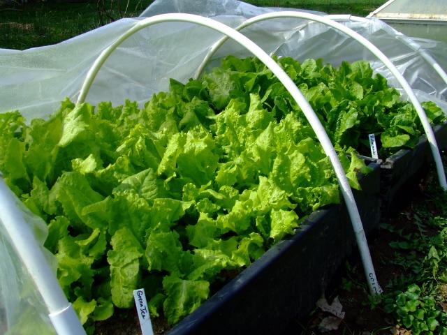 Lettuce Grow Fall Salad Greens Master Gardeners Of Greater Kansas City