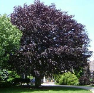 GardenAction Beech Tree
