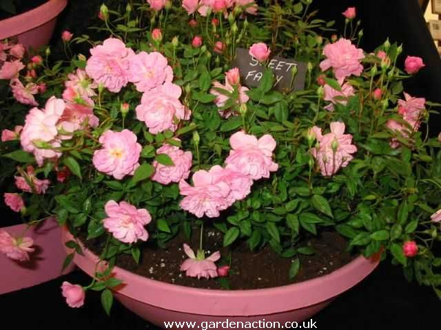 Patio And Miniature Rosa Sweet Fairy Rose Pictures