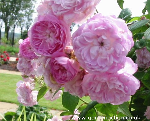 Rambling roses explained