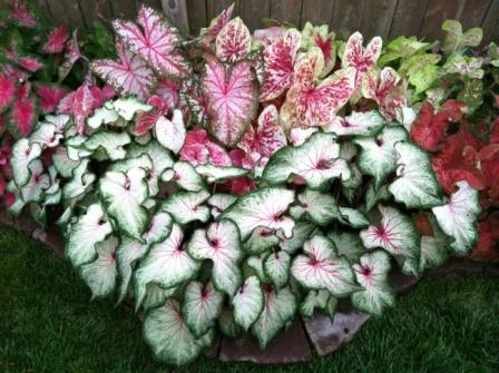 caladiums in landscape