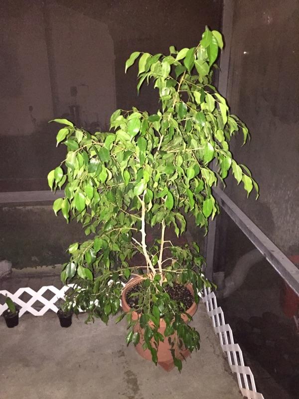 Floss Silk Tree