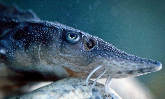 Caviar: An Aquaponics Crop of Sturgeon Fish?