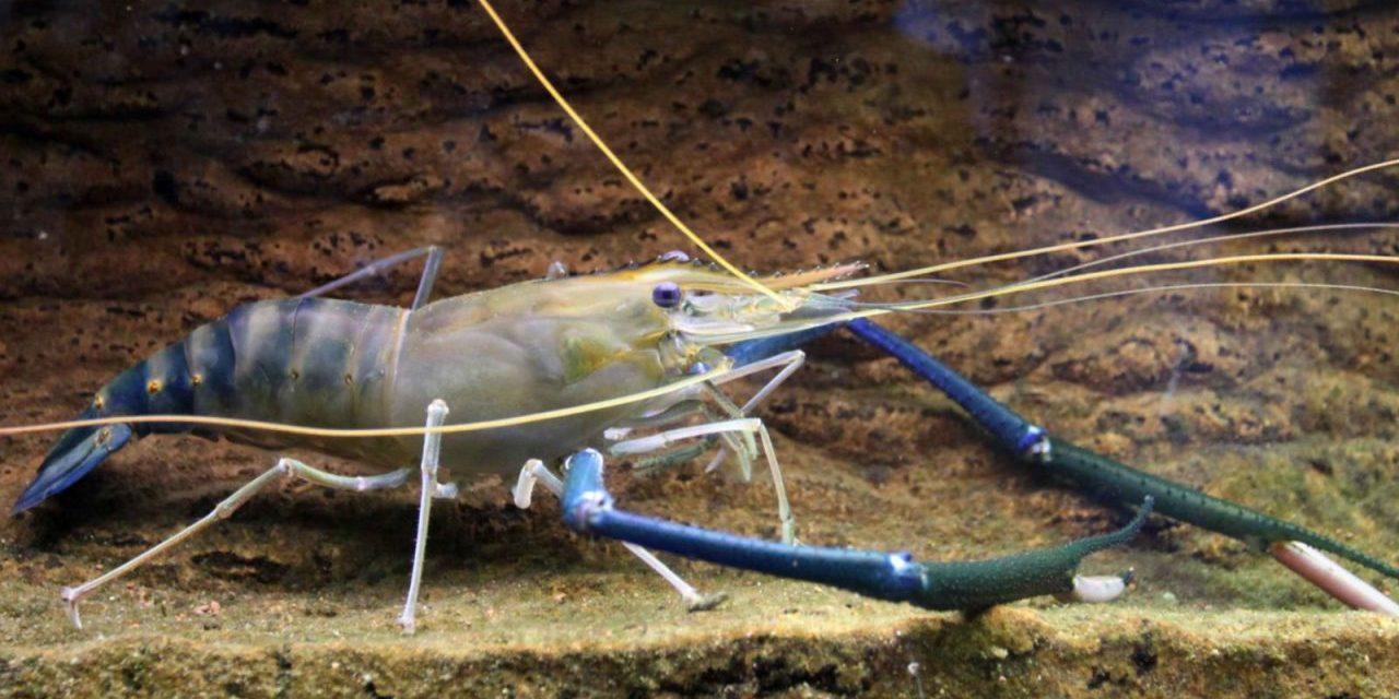 Raising Freshwater Shrimp & Tilapia Together