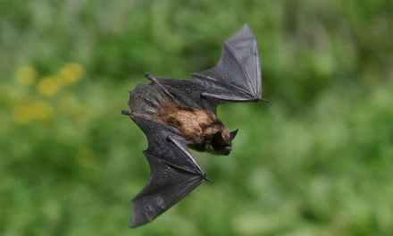 Bats: Garden Pest Control