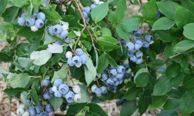 Container Growing Blueberries