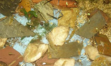 Freshwater Shrimp in Aquaponics